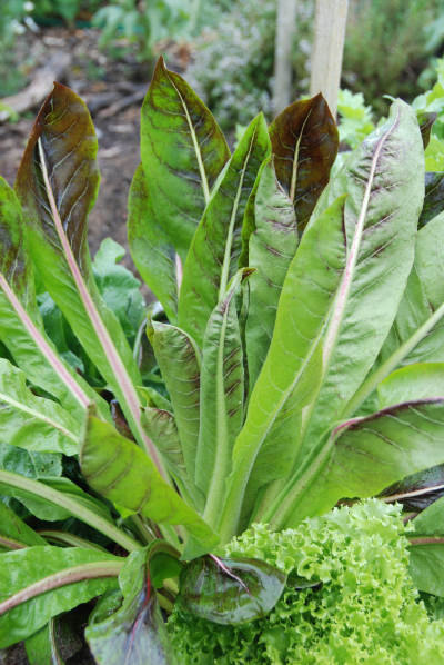 Chicory / Radicchio