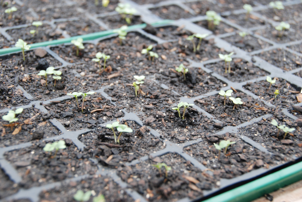 "Broccoli ""Romanesco"" (heirloom)- sprouted"