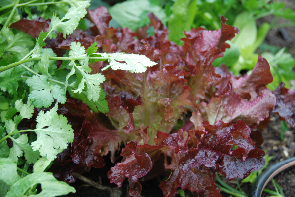"Lettuce ""Salad Bowl Red"""