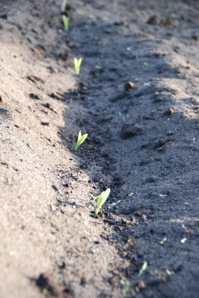 Corn germinated