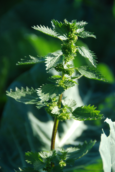 Nettle with cabbage