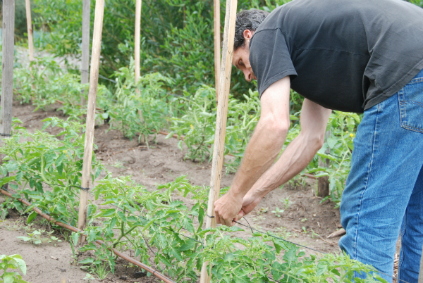 Peter training tomatoes