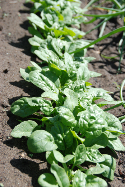 "English spinach ""Bloomsdale"""