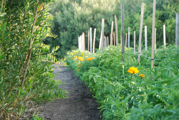 Tomatoes, marigolds and basil