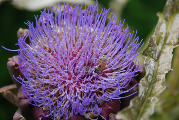'Purple Globe' Artichoke