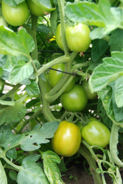 'Marglobe' Tomatoes