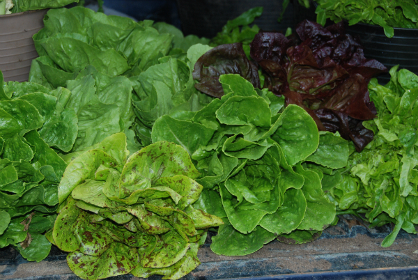 Lettuce harvest - week 1 2012 Summer Trial