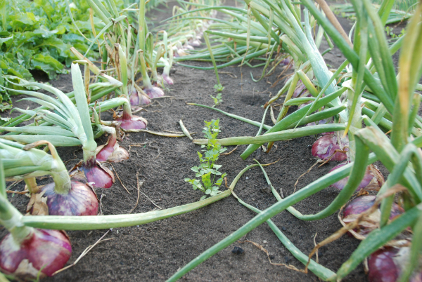 'California Red' Onions tops falling over