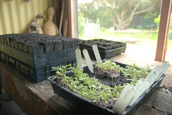 Tomato Seedlings - September 2011