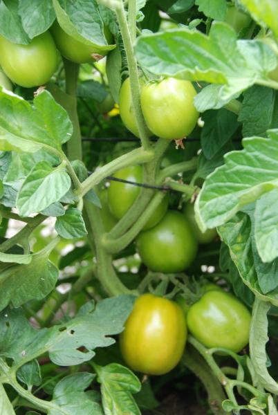 Roma tomatoes - early January 2012