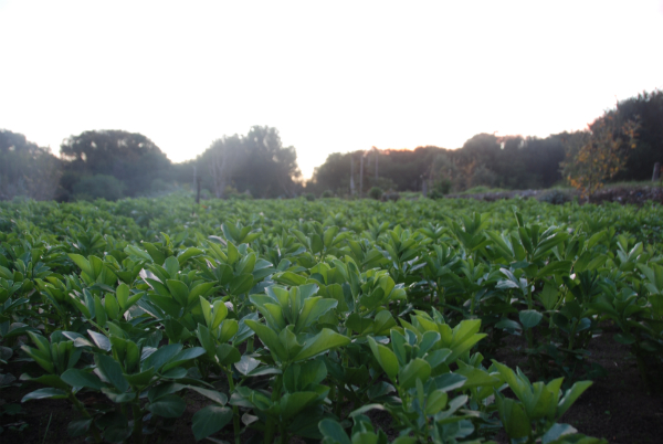 Broad Beans in early spring