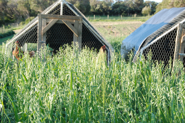 Chicken Tractors working through the Winter Cover crops - Sept 2015