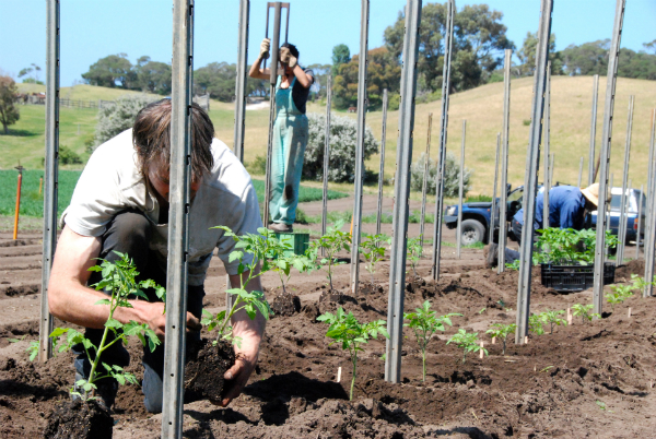 Planting Field Tomatoes - Oct 2015