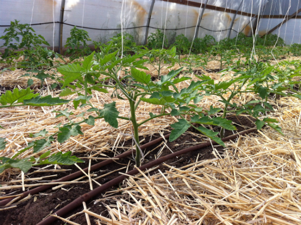 Tomatoes with great upright plant expression in the polytunnel - Nov 2015