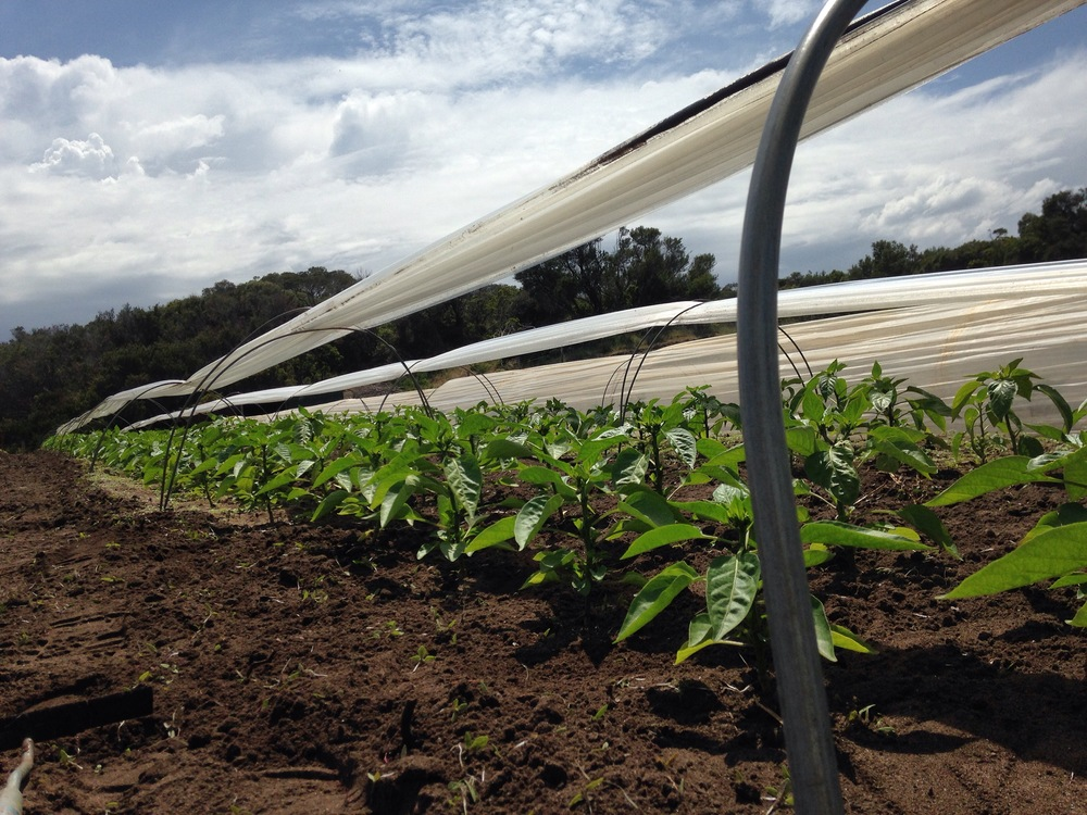 Hoeing Capsicums ahead of a storm
