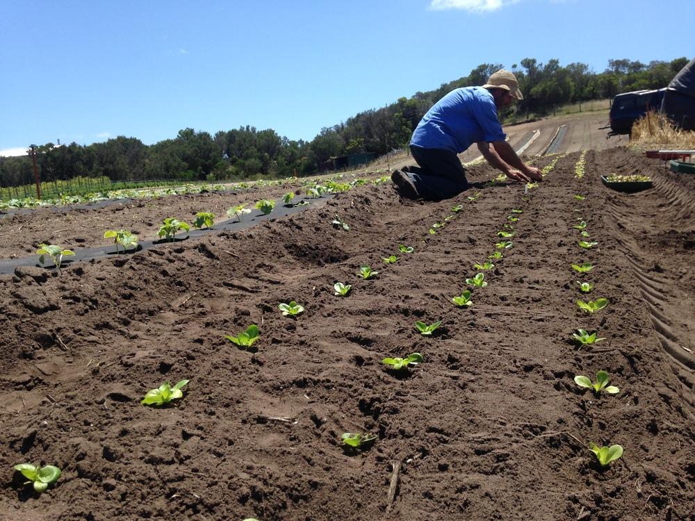 Transplanting Summer lettuce