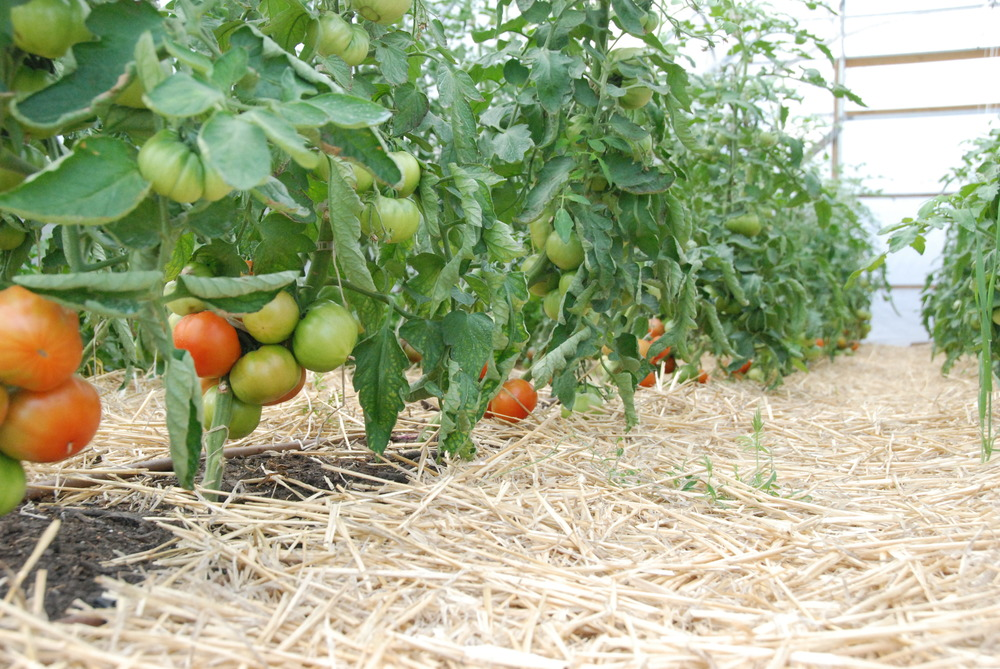 Tomatoes ripening in the Polytunnel