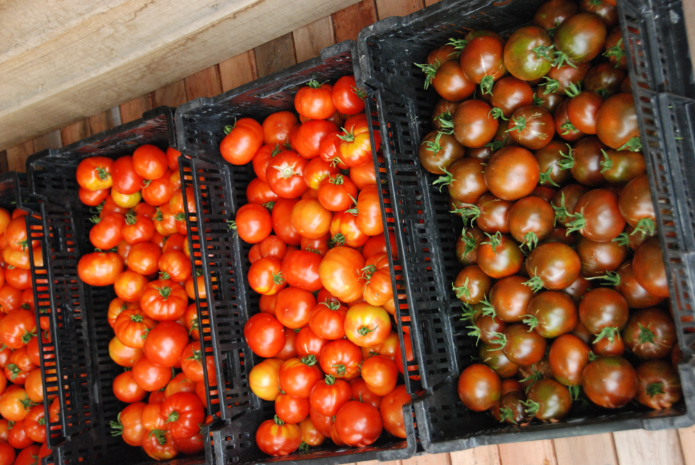 Our tomatoes have been producing for a few weeks in the polytunnel and the field tomatoes are also starting to ripen.