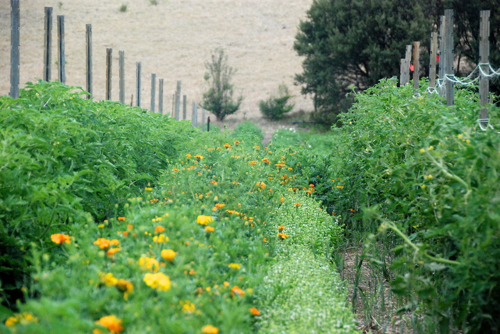 Field tomatoes with marigolds and basil