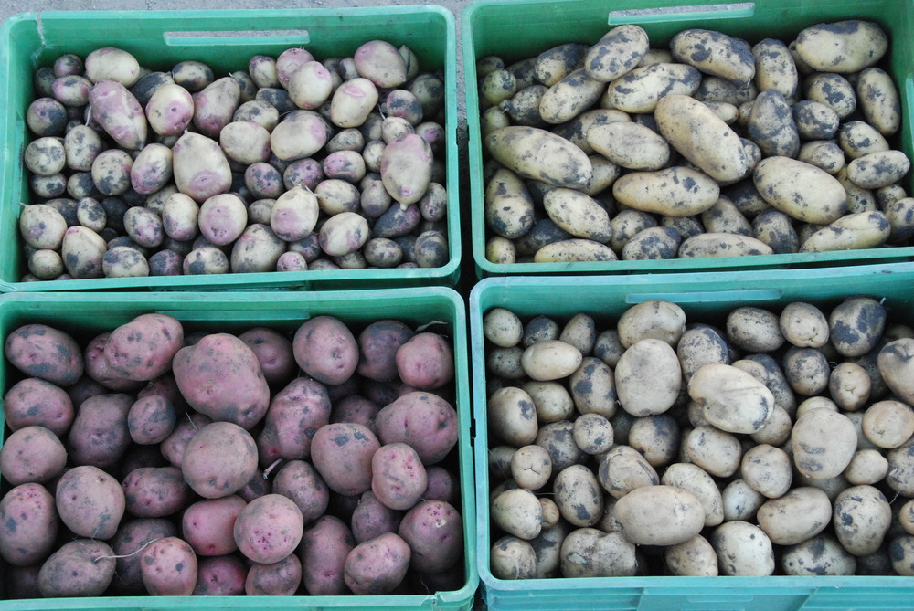 Potatoes for the Summer and Autumn boxes
