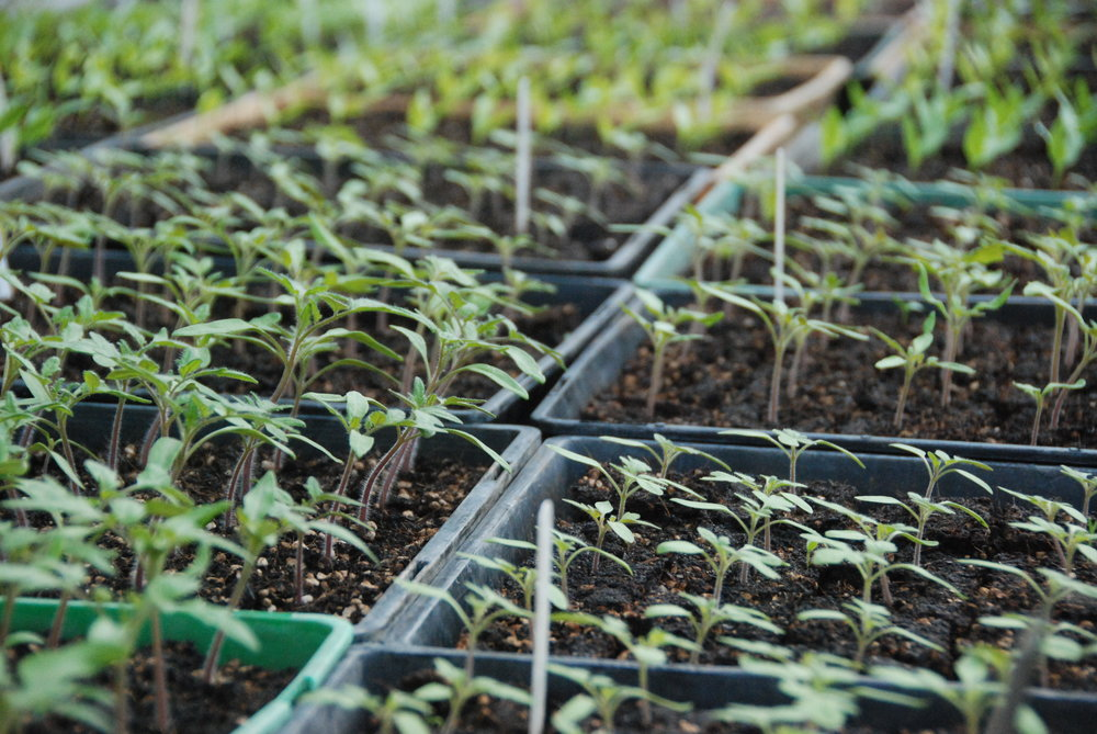 Tomato and Capsicum Seedlings - Sept 2016