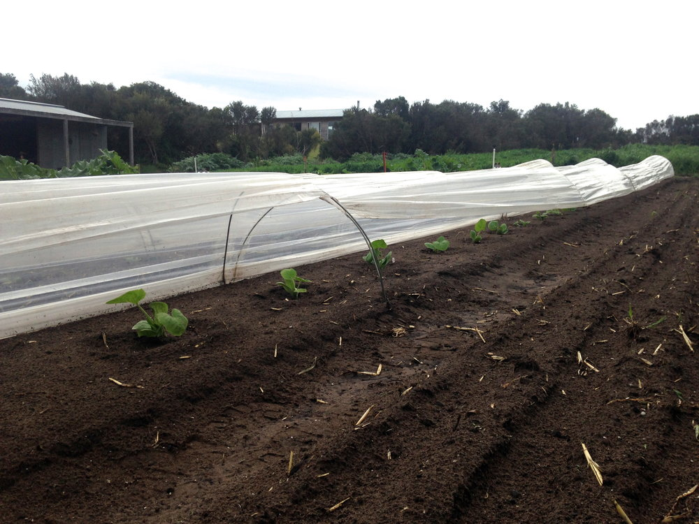 Zucchini tucked under a row cover to protect them from the wind, hail and cold nights of Spring.