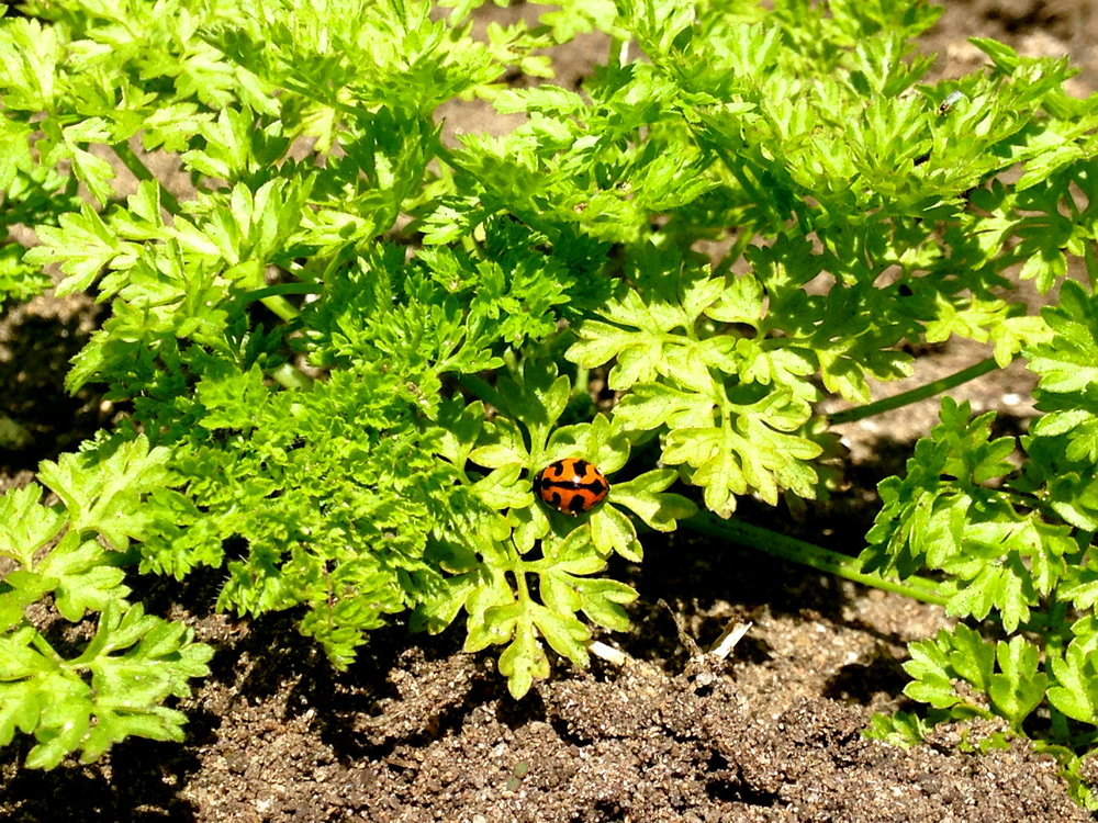 Integrated Pest Management...Lady bird in the chervil!