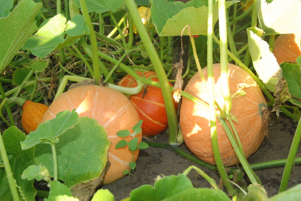 Harvesting these  'P  otimarron' or 'Red Kuri'  pumpkins this week