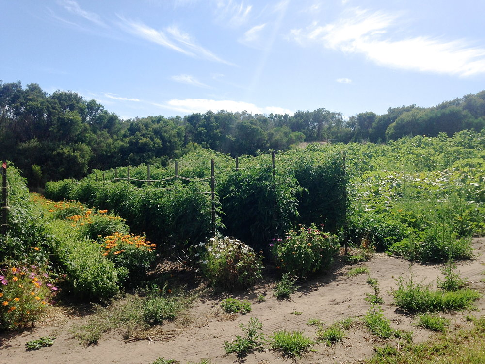 Field tomatoes and pumpkin patch