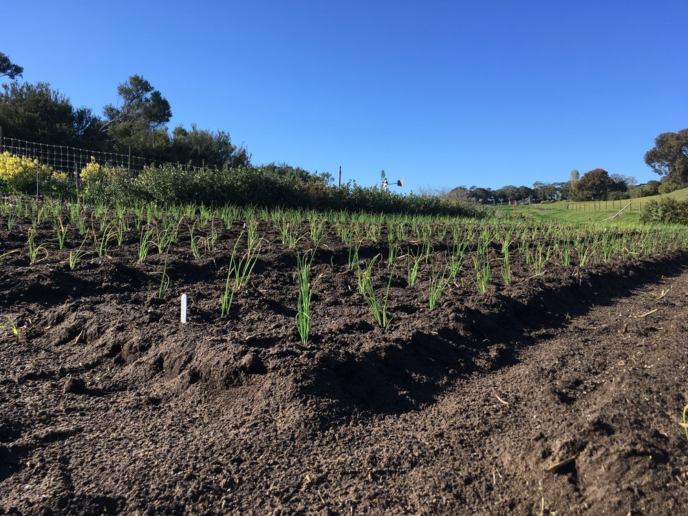 Onions transplanted in the field Oct 2018
