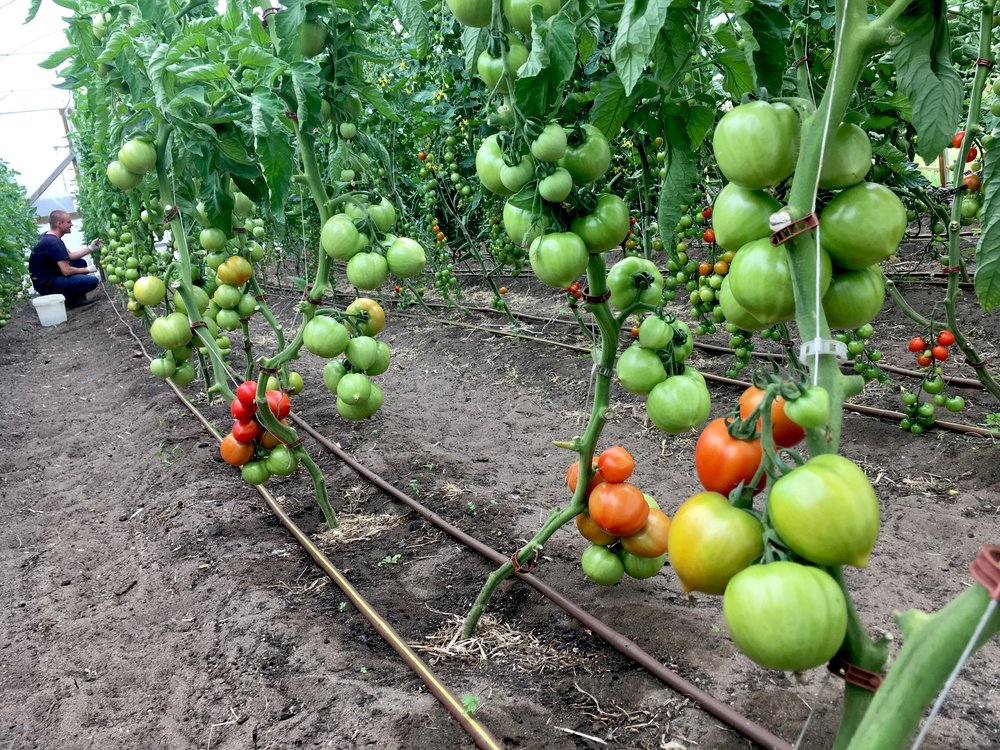 Polytunnel tomatoes - Dec 2018