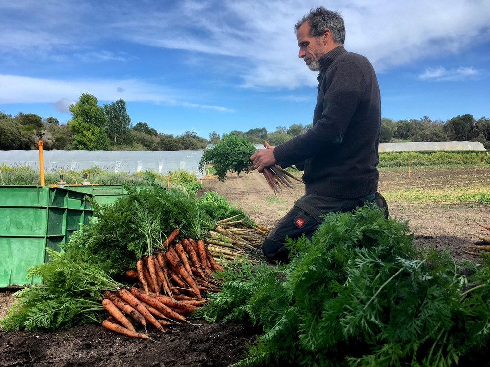 Peter harvesting for the CSA - Nov 2018