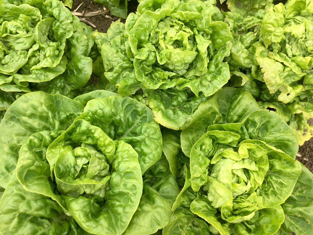 Gem lettuce variety trials received by chefs and our CSA members - Nov 2018