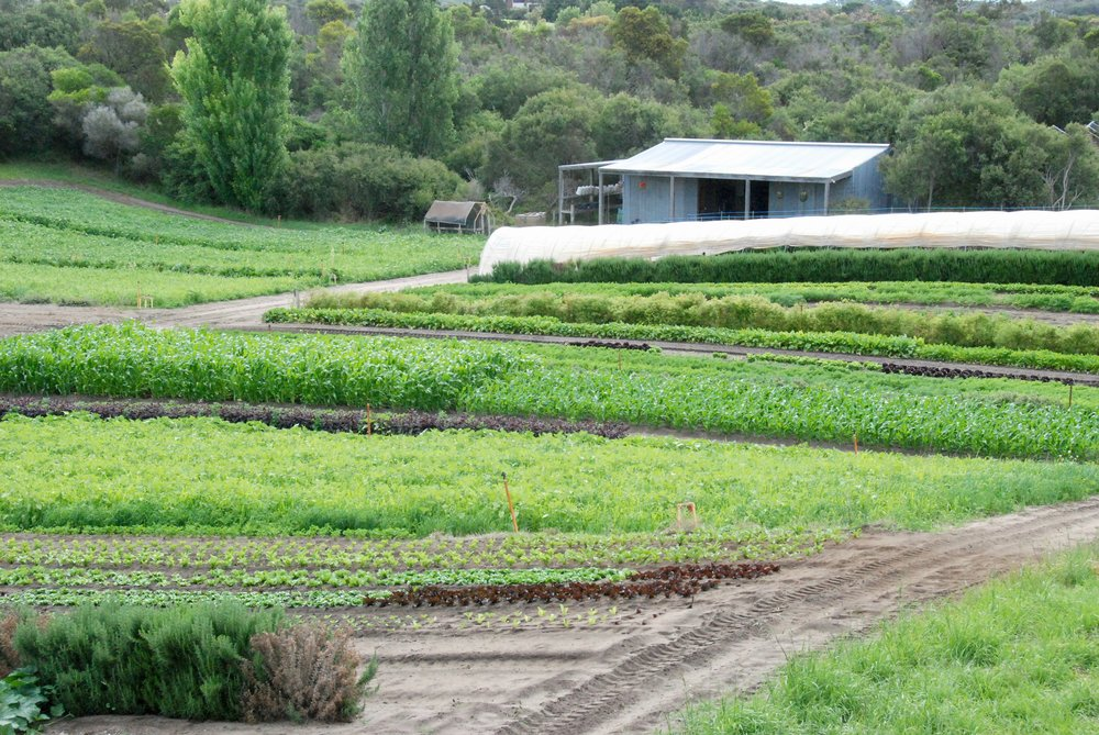 The farm is a rotating tapestry of green manure crops growing, soil prepared, and food crops at all stages of maturity.