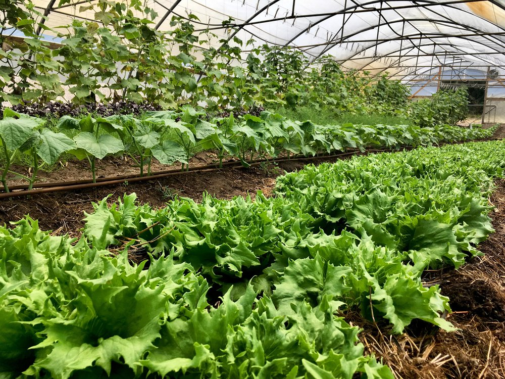 Heirloom lettuce form heads and climbing cucumbers enjoy the shade created under a canopy.