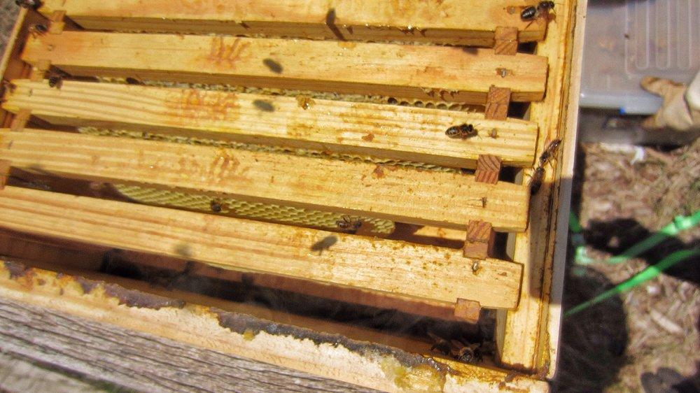 Honey bees build comb