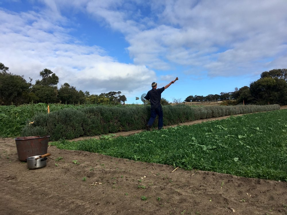 "Applying Biodynamic prep ""combined 500"" to a green manure crop. This preparation helps to proliferate soil life, building the relationships between the diverse world beneath the soil and the plant roots."