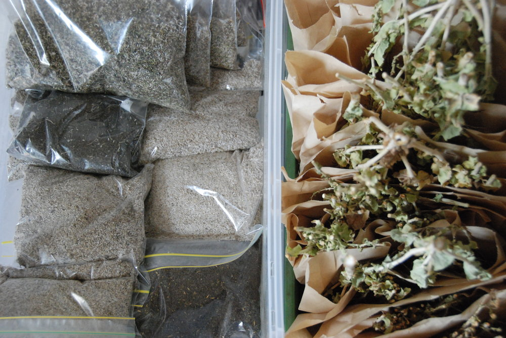 Lettuce seed - Cleaned (left) and still to be cleaned (Right)