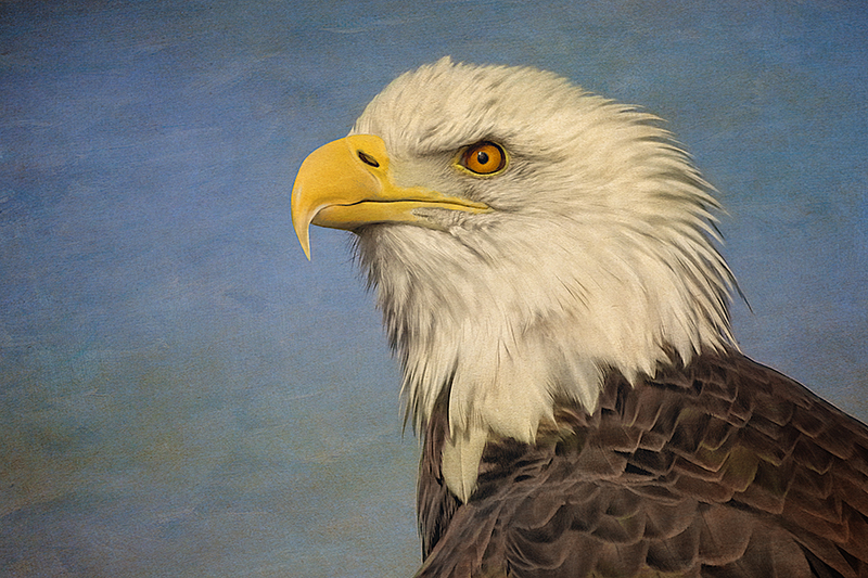 Majestic Bald Eagle by Adrian McGarry. Created in Corel Painter. ©Adrian McGarry.