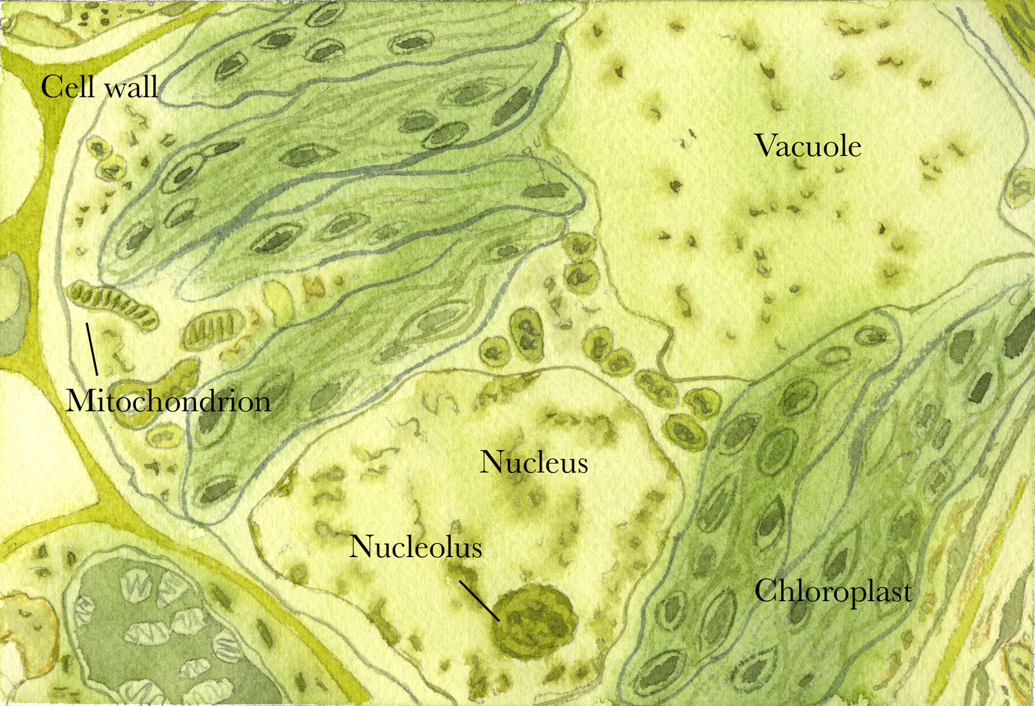 Opuntia Visual Simple Plant Cell Diagram Labeled For Kids