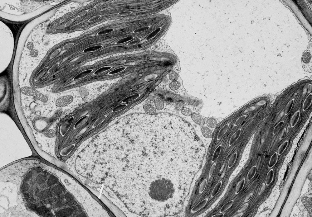 Micrografía electrónica de una célula vegetal. Crédito de la imagen: University of Wisconsin, Botany department.