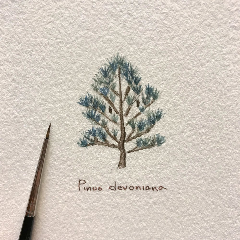 #PlantSaturday: Pinus devoniana