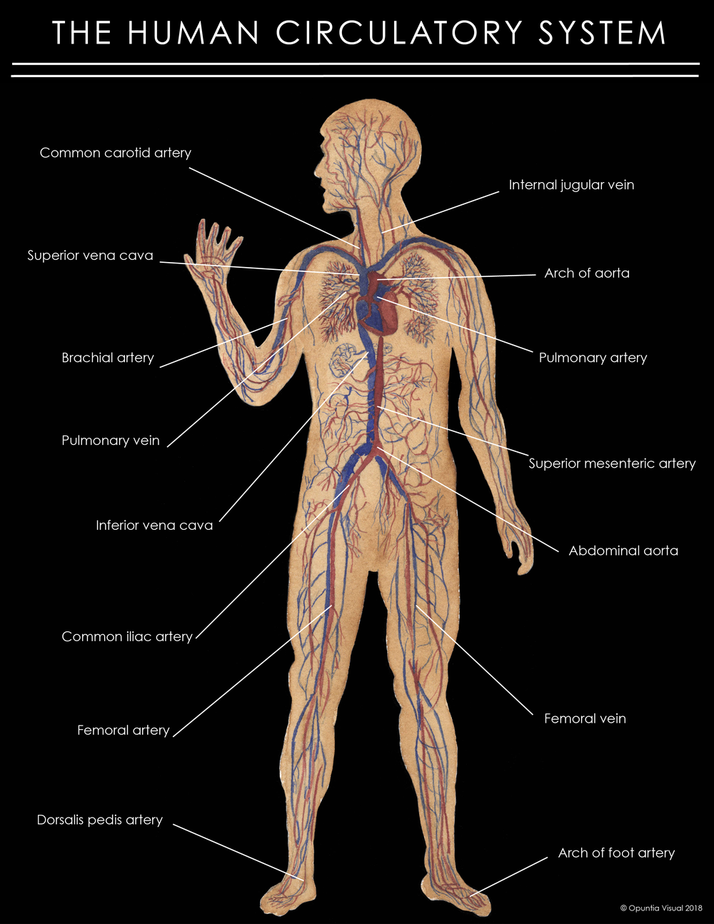 The Human Circulatory System Opuntia Visual
