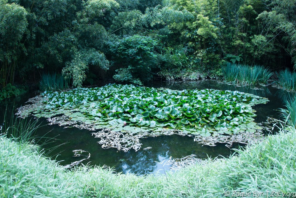 Water lilies in the   Botanical Gardens   of San Francisco on way to find one of   Flower Piano  's installations.