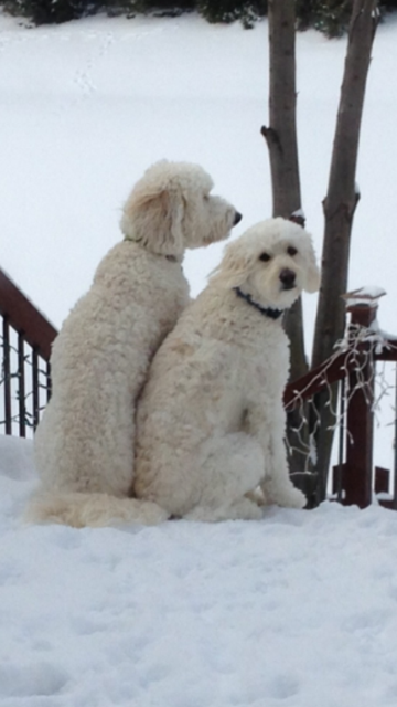 """We bought two of your fantastic F1B males on Mother's Day 2012.  Our beautiful boys are happy, healthy, and three.  We have since sent 5 more families to you who have purchased doodles and all love theirs as much as we do!""-- Kim and Mike E.-- Fishers, IN"