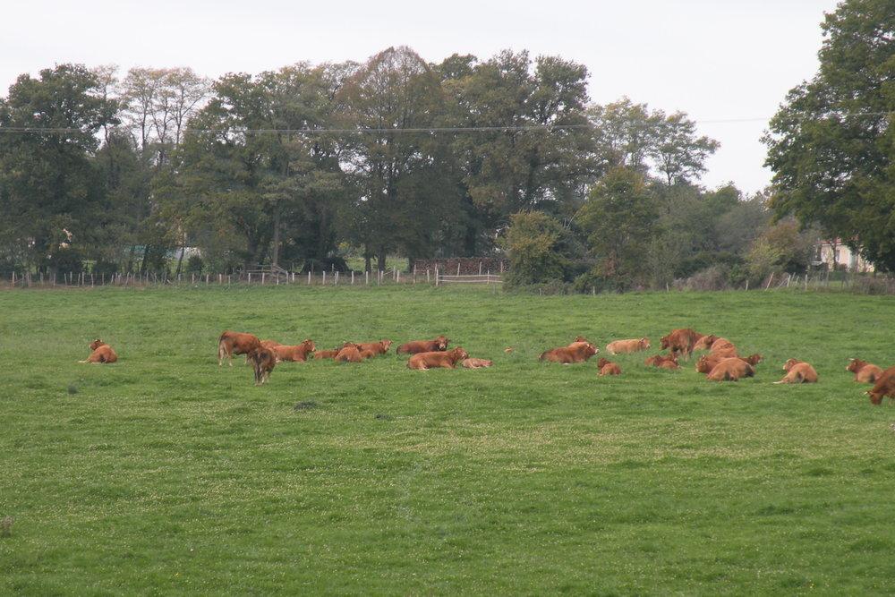 Koeien in een weiland in de omgeving