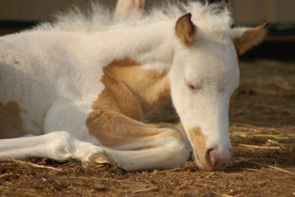 We need your help to rescue newborn horses!    Each spring Flying Change Equine Therapy rescues nurse mare foals. A nurse mare is a female horse that is impregnated so she will produce milk. After she gives birth, she is leased for money for another, more valuable horse's foal to nurse from and her own baby – the nurse mare foal - is allowed to starve to death or is killed.  We rescue nurse mare foals and raise them as part of our therapy program, a program we call MercyFoal. Like these foals, many of our therapy clients have felt thrown away, abandoned and left to starve, emotionally or physically. The clients and their foals share a similar story. They understand each other. By pairing a client healing from trauma with a rescued foal, we give them both something to live for, someone that needs them, a reason to live and thrive.  Please donate!