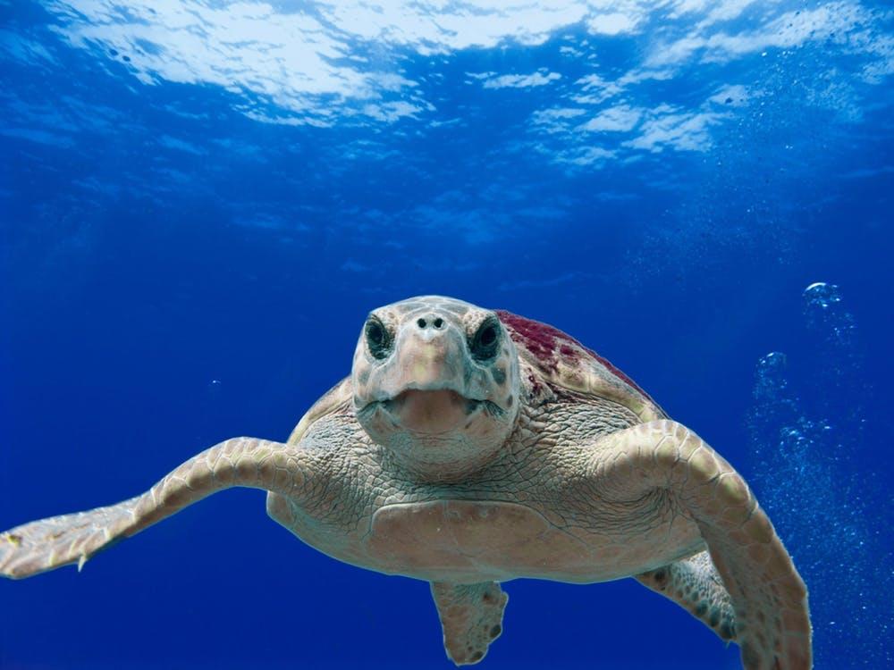 loggerhead-turtle-sea-ocean-water save the oceans