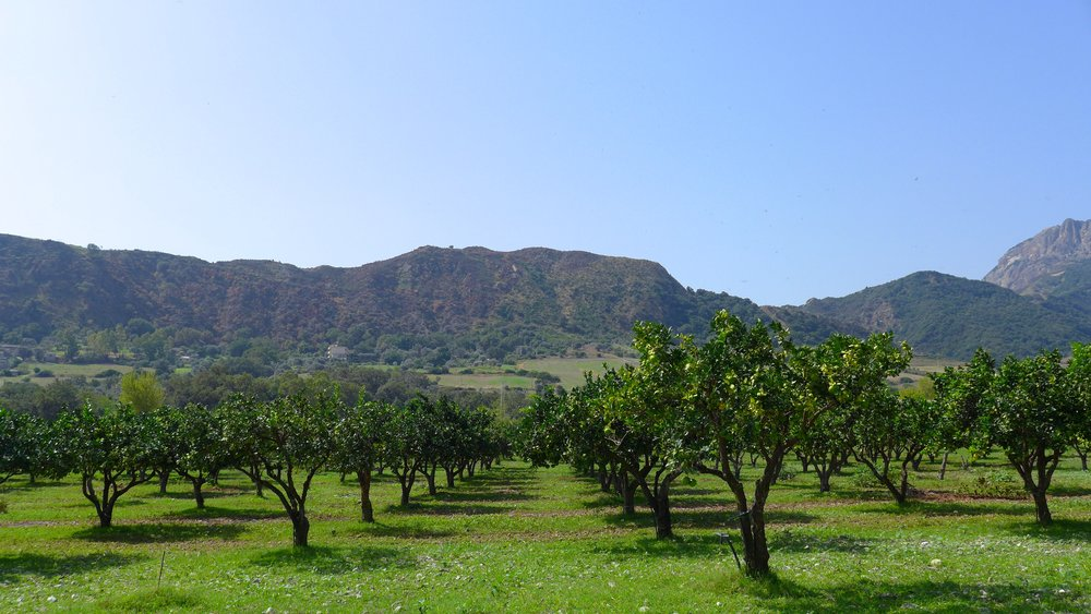 The farm cultivates only organic olive trees, oranges, lemons, bergamot, clementines, mandarin and eucalyptus.