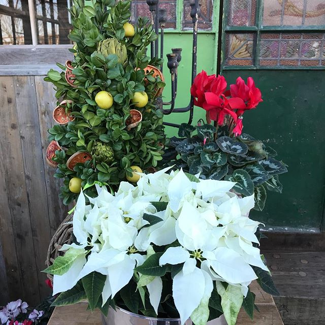 Which would you choose? #whitepoinsettia #redcyclamen #driedflowerarrangement #holidaycenterpiece #cyclamen #driedfruit #holidaydecor #hamptonsstyle #gardeninspired #holidayarrangements